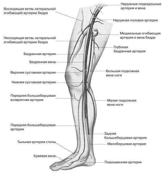анатомическое строение голени