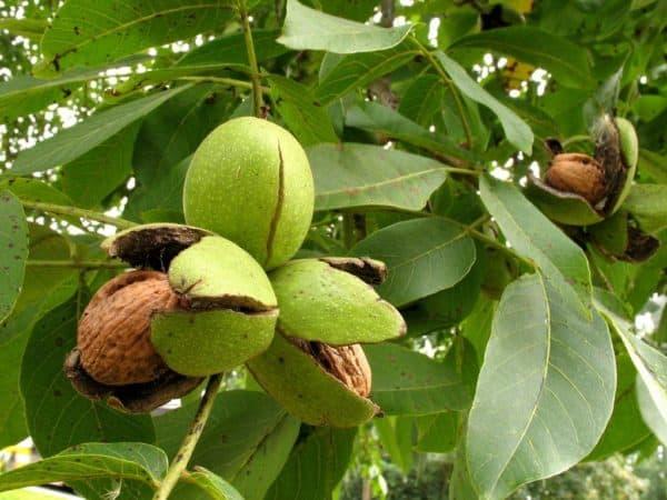 Дерево грецкий орех