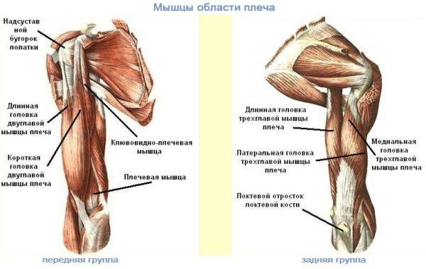 мышцы области плеча