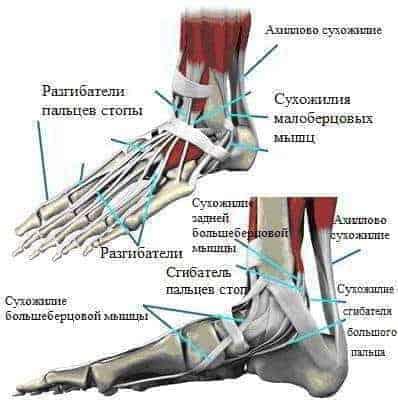Расположение сухожилий на стопе