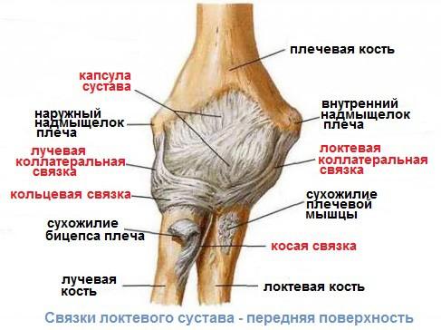 Изображение - Массаж при растяжении связок локтевого сустава stroenie-loktya